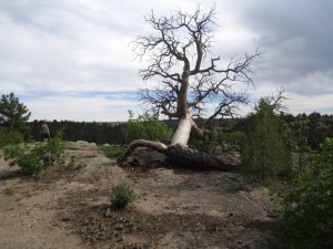 Tree Rimrock