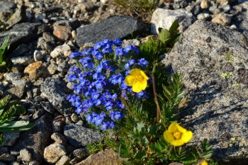 Pretty alpine flowers