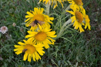Butterfly on an Alpine Sunflower